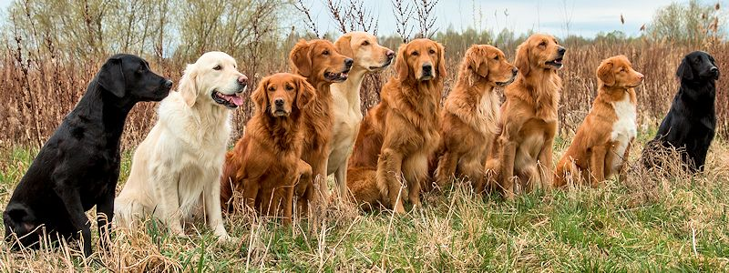 Golden Retirever, Labrador Retriever, Flat Coated Retriever und Nova Scotia Duck Tolling Retriever